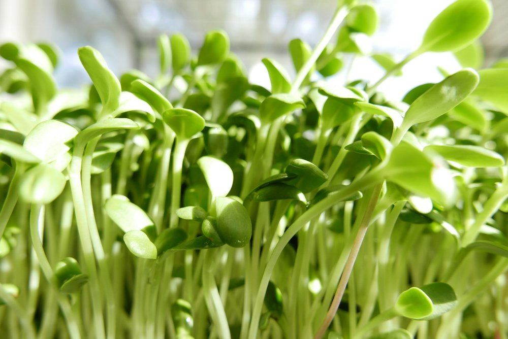Sunflower sprouts are good for the heart. They are a customer favorite: crunchy, juicy, sweet, and nutty all in one bite.
