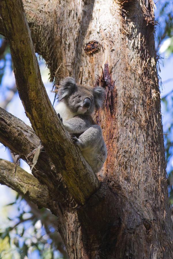 p85:2 Koalas-0565.jpg