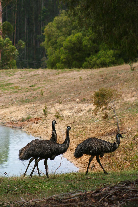 Emus_resized.jpg