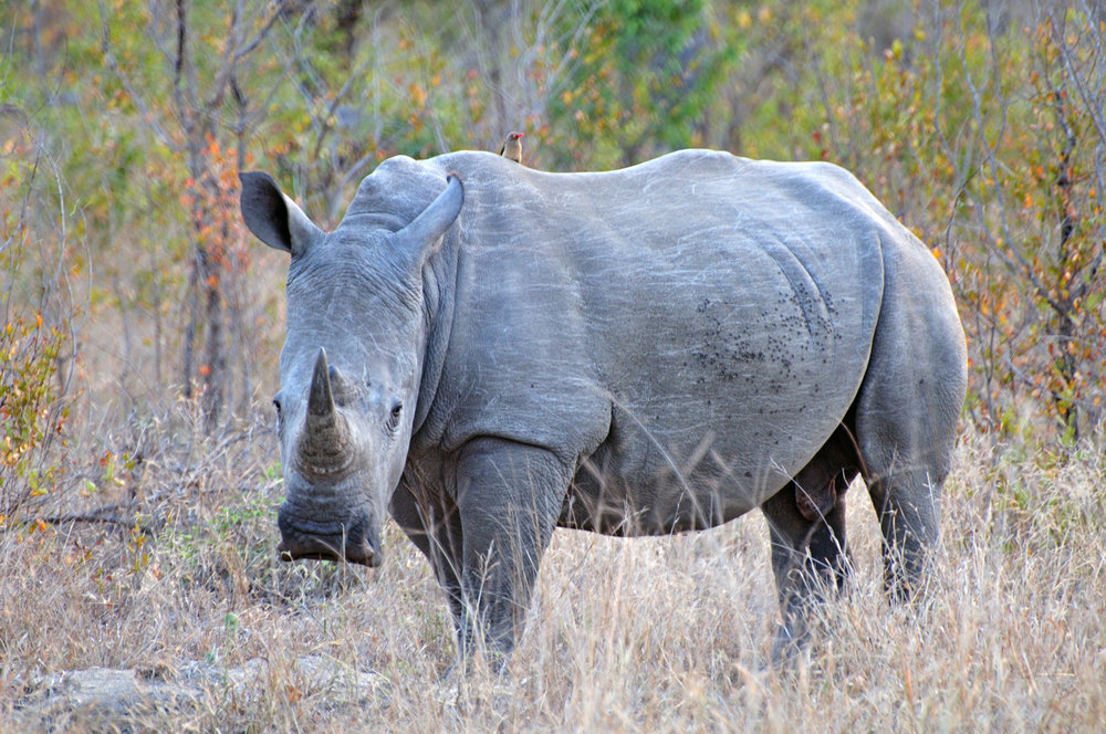 Rhino - The big 5 (Customised Tours to Africa)