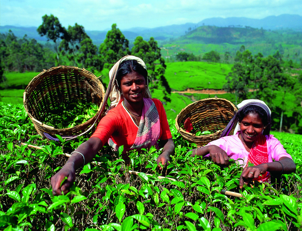 Tea plantations (Exclusive tours to Sri Lanka)