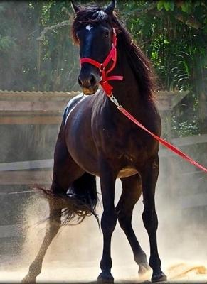 My Majestic Horse Samba