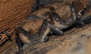 bats-in-attic