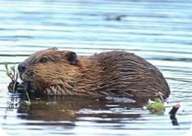 beavercontrol.jpg