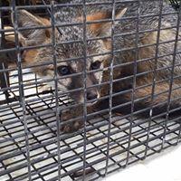 grey fox.jpg