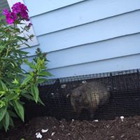 groundhog-trap