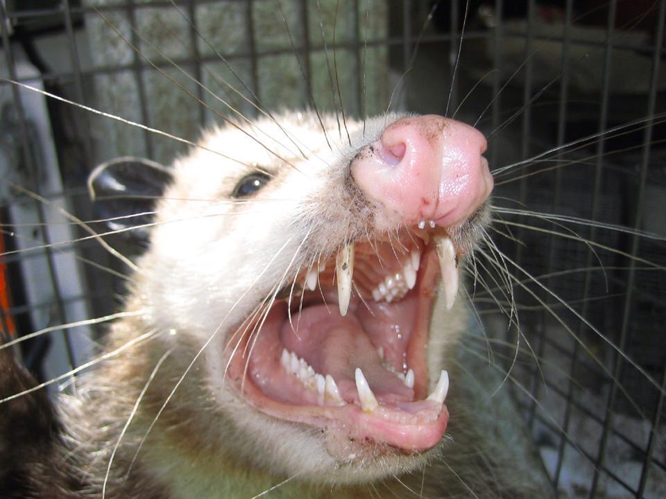 opossum-in-cage
