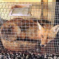 fox-trap