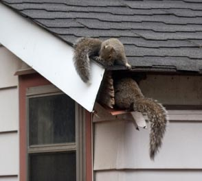 squirrel-gutter-damage