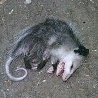 dead-opossum