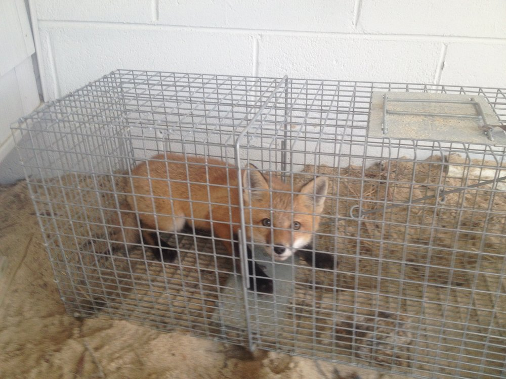 Caged Fox