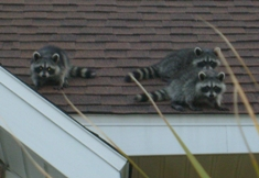 Raccoons-on-roof.jpg