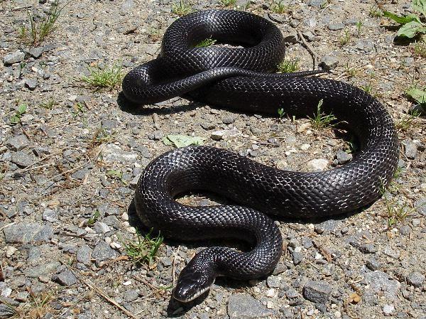 Black_Rat_Snake.jpg