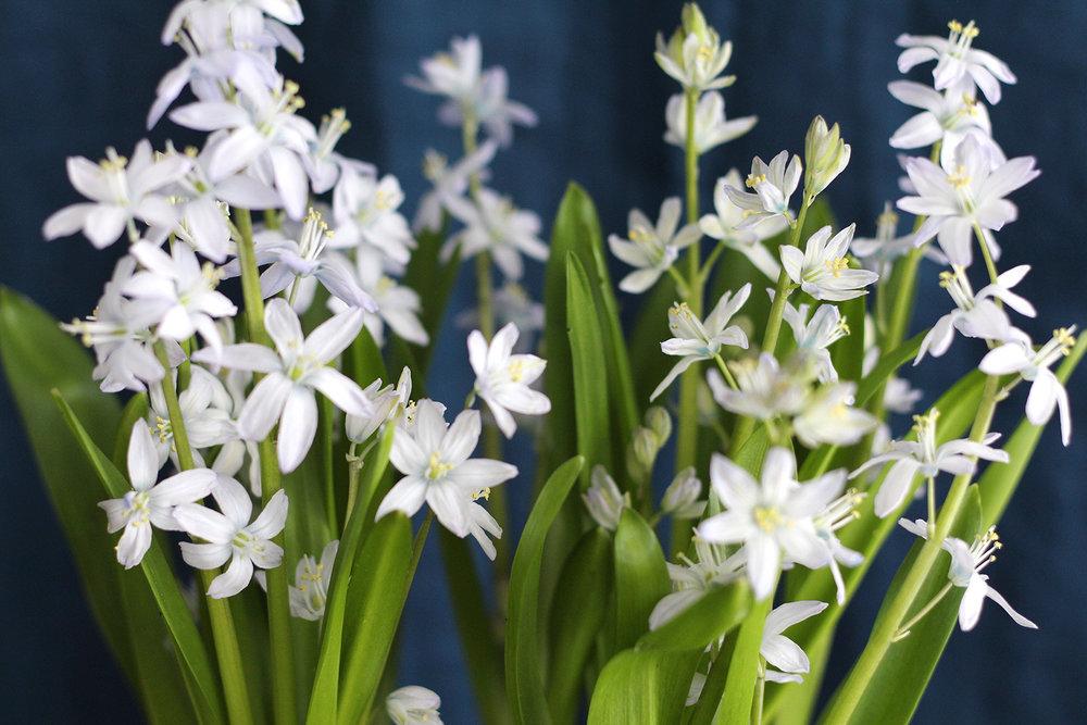 Mini flowering white muscari bulbs.