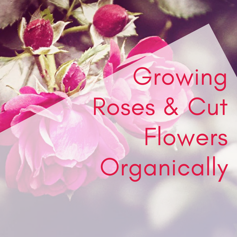 Growing Roses & Cut Flowers Organically