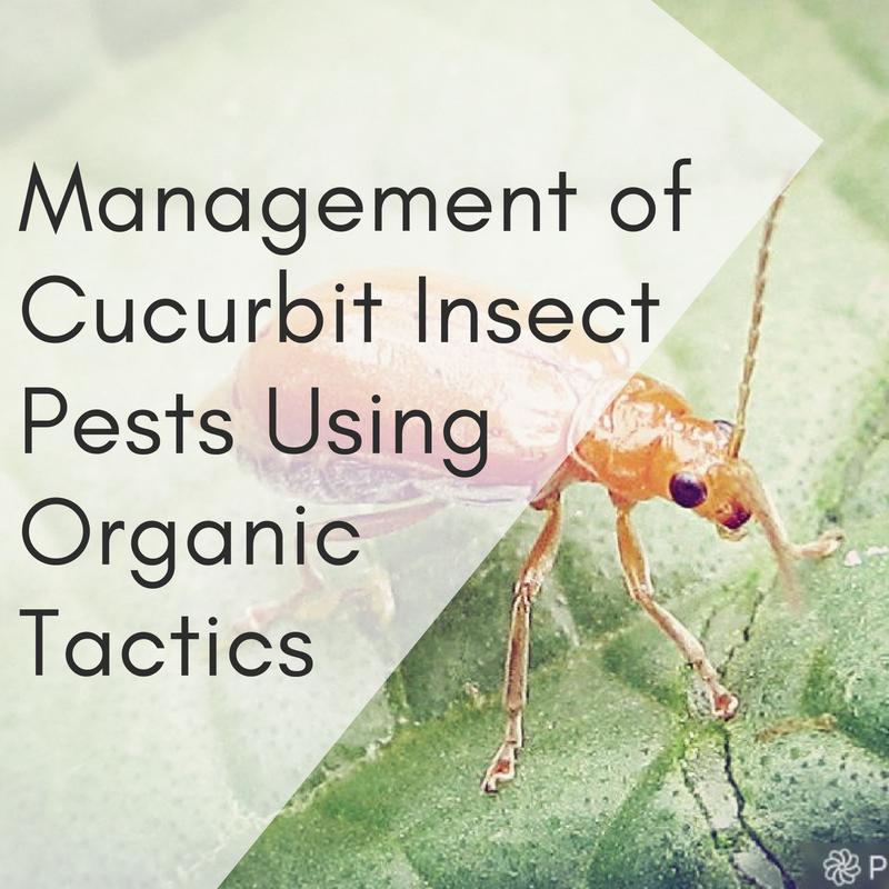 Management of Cucurbit Insect Pests Using Organic Tactics