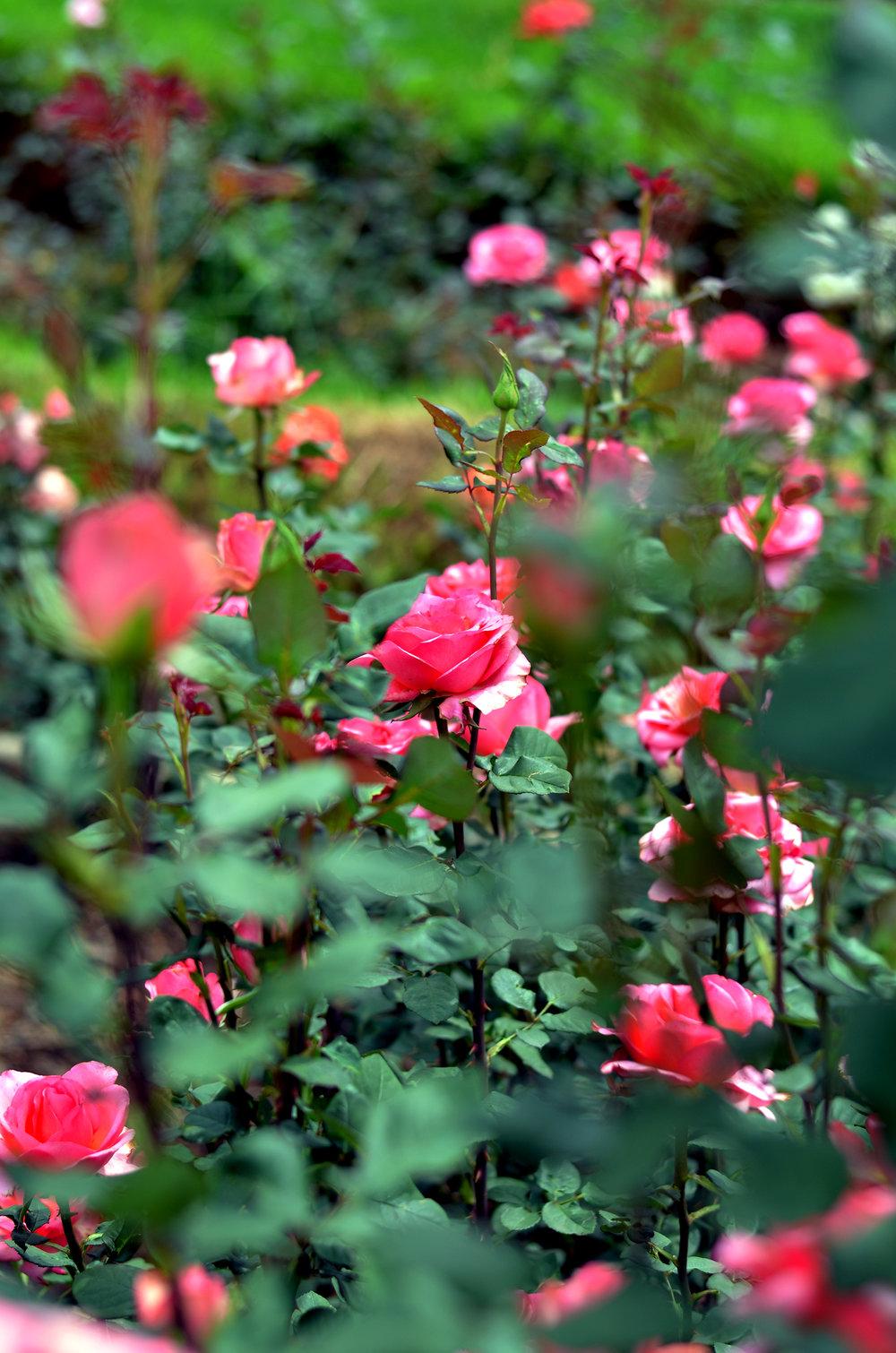 Rose_Garden_View.jpg