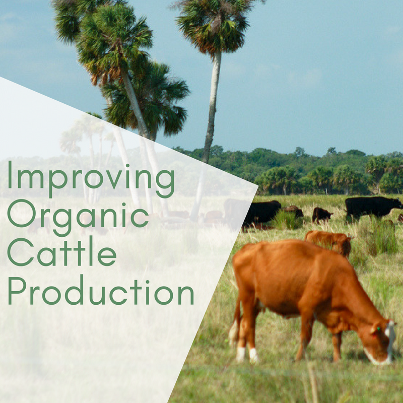 Improving Organic Cattle Production: Grazing Cover Crops and Mixing Breeds