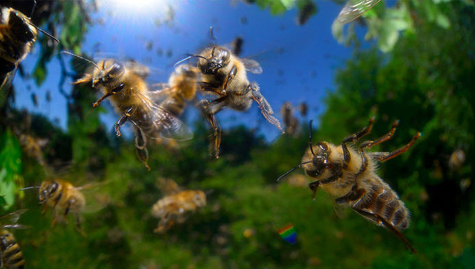 37090813 Brain protein fragments spur honey bees to be more aggressive. SOLVIN  ZANKL/MINDEN PICTURESBiochemists ...