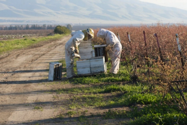 commercial BEEKEEPERS CHECKING ON WHAT'S GOING ON INSIDE THEIR HIVES. (PHOTO: KODUA GALIETI)