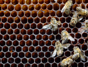 Dead bees killed by mite infestation. Credit: Getty Images IL