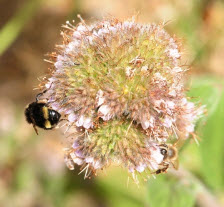 Phacelia californica was among the 43 plants tested. Here a bumble bee, Bombus vandykei, and a honey bee, Apils melllifera, share a blossom. (Photo by Kathy Keatley Garvey)