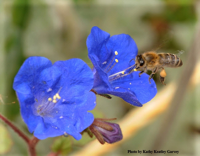 Phacelia campanularia was one of the 43 plants tested in the UC Davis research garden. Here a honey bee sips nectar from a blossom. (Photo by Kathy Keatley Garvey)