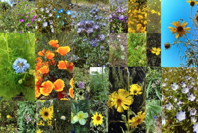 These are some of the 43 plants tested in the UC Davis research garden. This is an illustration from the research paper. (Photos by Ola Lundin)   https://ucanr.edu/blogs/blogcore/postdetail.cfm?postnum=28959