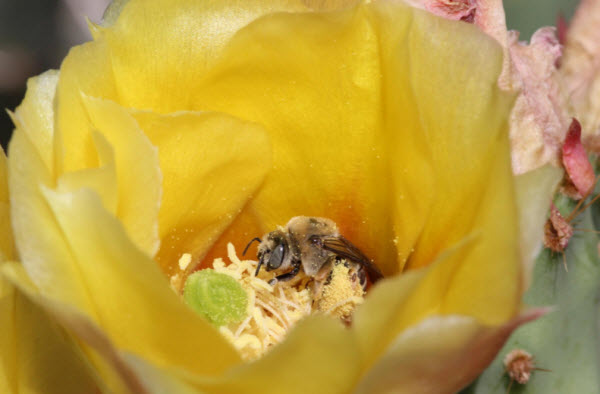 Grand Staircase-Escalante National Monument supports hundreds of bee species, possibly because of its diversity of flowers. This newly discovered bee biodiversity hotspot is at risk now that the monument has been shrunk. Photograph by Olivia Messinger Carril