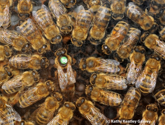 "A queen bee with her retinue, ""On the 11th day of Christmas my true love gave to me, 11 queen bees piping."" (Photo by Kathy Keatley Garvey)"