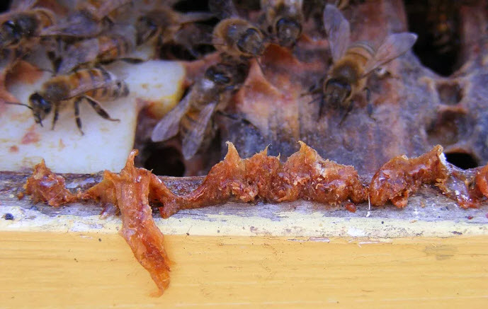 Propolis is a pliable, resinous mixture that honey bees (Apis mellifera) create by mixing a variety of plant resins, saliva, and beeswax and which they apply to interior surfaces of their hives, namely at points of comb attachment and to seal up cracks and crevices on the interior side of hive walls. Greater propolis production is connected with improved hive health, and a new study finds a few simple methods beekeepers can employ to stimulate increased propolis production. (Photo credit: Flickr/Ontario Beekeepers' Association Tech Transfer Program, CC BY-NC-ND 2.0)