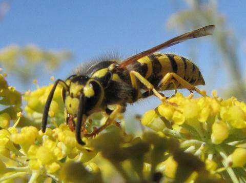 The western yellowjacket is a honey bee predator and honey-raider.