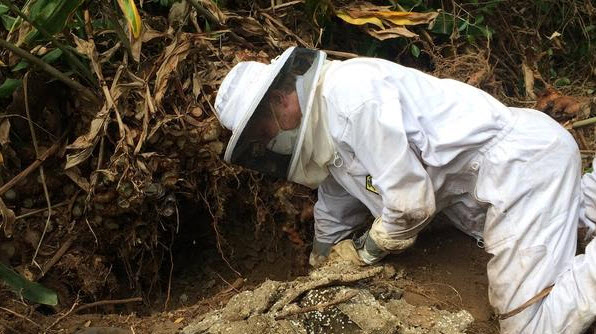 Kevin Loope excavates a yellowjacket nest in Volcano, Hawaii. (Jessica Purcell/UC Riverside)