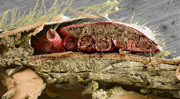 In this cross-section of a honey bee's abdomen, a parasitic varroa mite (orange) can be seen lodged between the bee's abdominal plates, where the mite feeds on honey bee fat body tissue. Credit: UMD/USDA/PNAS