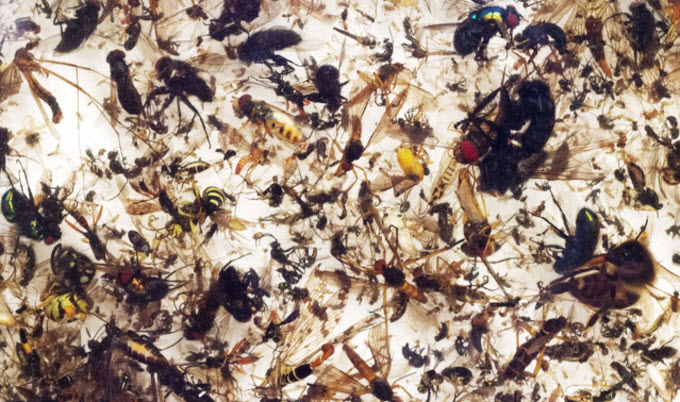 The rate of insect extinction is eight times faster than that of mammals, birds and reptiles. Photograph: Courtesy of Entomologisher Verein Krefeld