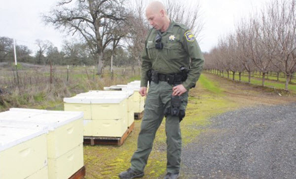 Butte County Sheriff's Deputy Rowdy Freeman checks on commercial apiaries in an almond orchard near Oroville. Freeman says law-enforcement agencies around the state have received reports of bee-colony thefts, suggesting potentially tight supplies of bees for pollination.  Photo/Christine Souza