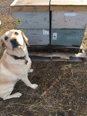 Mack sits in front of a beehive, a sign that he's detected AFB. Photo by Cybil Preston.