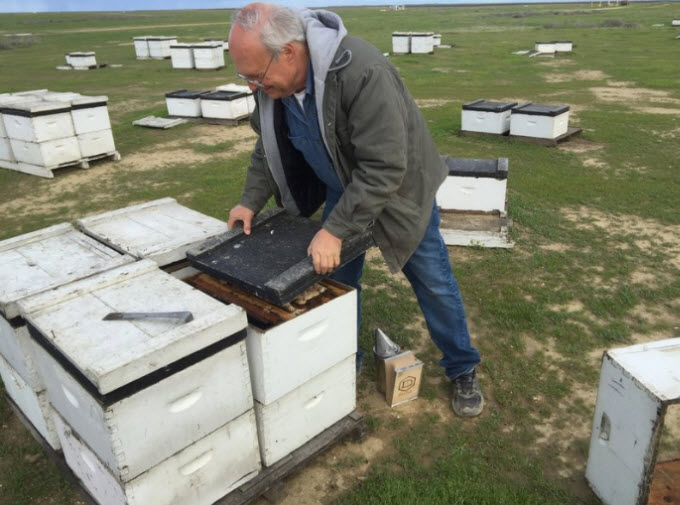 Bret Adee, a third-generation beekeeper who owns one of the largest beekeeping companies in the U.S., lost half of his hives — about 50,000 — over the winter. He pops the lid on one of the hives to show off the colony inside.  Greta Mart/KCBX