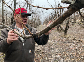 Eric Olson, 75, of Selah, Wash., points out the fruiting wood on his cherry tree. Pruning helps to open the canopy so the fruit can ripen well, and cuts back on fast-growing branches called suckers that can sap the tree's energy away from the valuable fruit.  Anna King/Northwest News Network