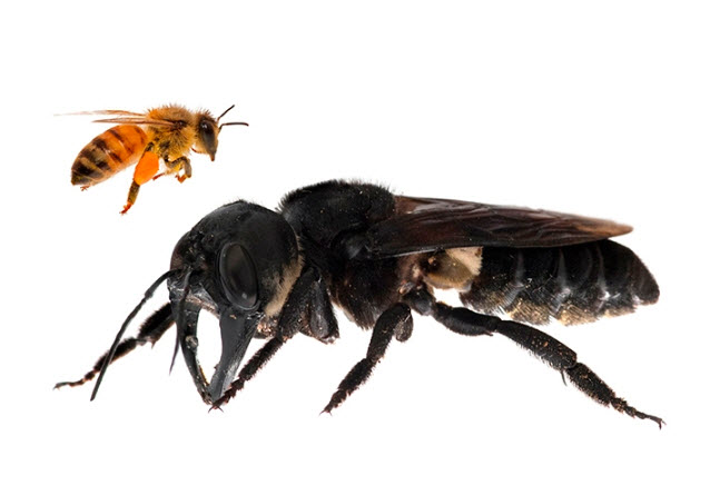 Wallace's Giant Bee, Megachile pluto, the world's largest bee, is approximately four times larger than a European honey bee. This is a composite. (Copyright: Clay Bolt, www:claybolt.photoshelter.com)