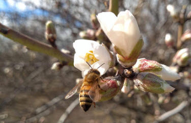 Each almond starts with a bee in a blossom