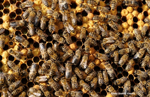 Honey bees at work. Photo by Kathy Keatley Garvey