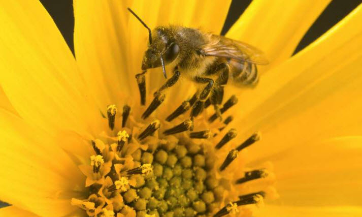 An adult worker bee gathering pollen and nectar from a helianthus flower. Credit: USDA-ARS