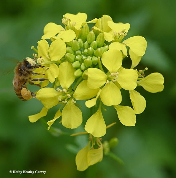 Pollen or nectar? Both please, says the honey bee as she forages on mustard. (Photo by Kathy Keatley Garvey)