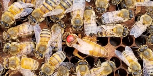 Apivar 10 Pack Varroa Mite  Beekeeping   for Honey Bees   from VETO Farma Europe