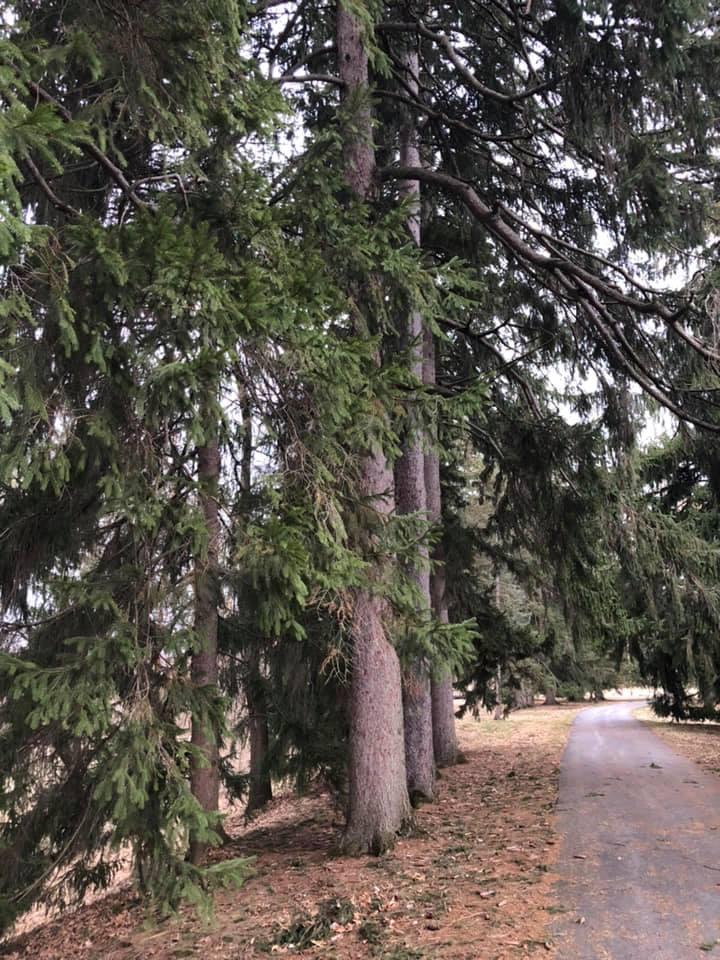 pines_TE.jpg