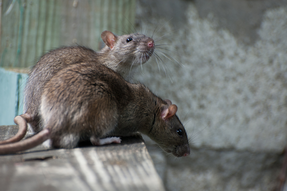 Keep Rodents Away From Your House — Wallside Windows®