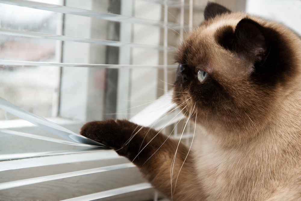 Cat playing with window blinds.