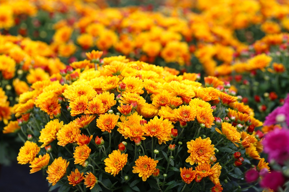 Add Color to Your Yard With These Fall Flowers