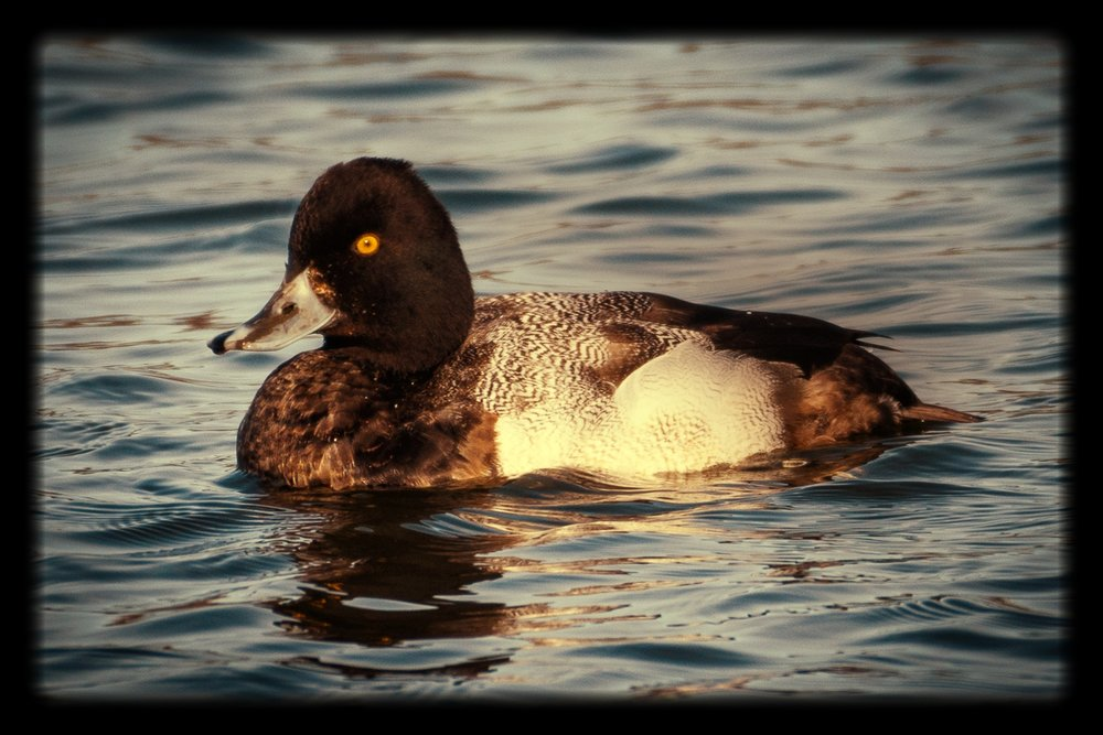 The Scaup